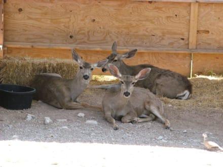Mule Deer im Living Desert Zoo, NM - Living Desert Zoo and Gardens State Park