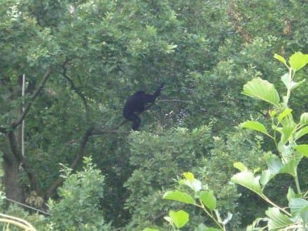 Affe im Baum - Tierwelt Herberstein