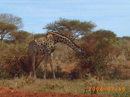 Giraffe - Tsavo Ost und West Safari