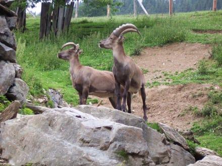 Steinböcke - Wildpark Aurach