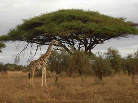 Safari im Amboseli-Nationalpark - Amboseli Nationalpark