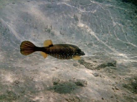 Kofferfisch - Schnorcheln Hurghada