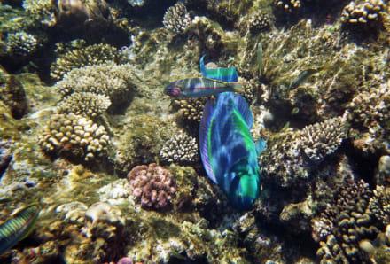 Unter Wasser - Schnorcheln Sharm el Sheikh