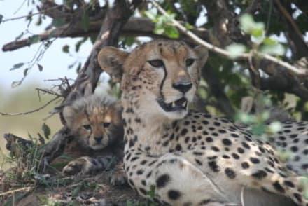 Mutterliebe - Masai Mara Safari