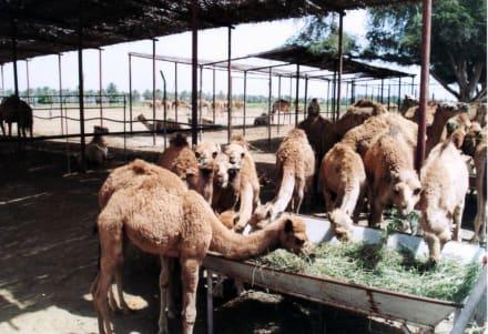 Junge Kamele - Suwaiq Camel Breeding Center