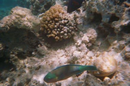 Papageifisch - Schnorcheln Hurghada