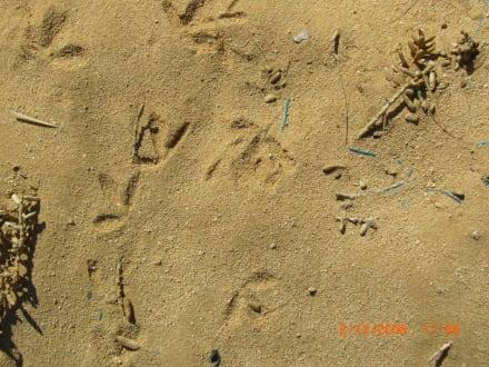 Spuren im Sand. - Giftun / Mahmya Inseln