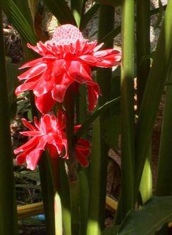 DALAA Blumen - Koh Samui Hinterland