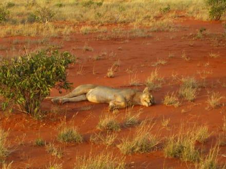 Löwe beim schlafen - Hells Kitchen