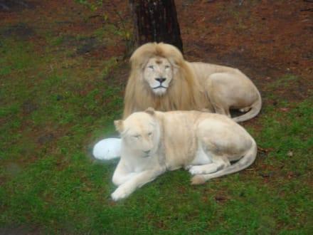 Weißer Löwe - Serengeti Park