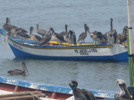 Pelikane - Juan Griego