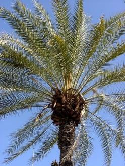 Palme an der Promenade - Strandpromenade Limassol