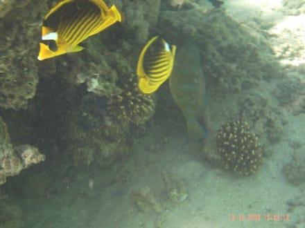 Fische - Schnorcheln Nabq Bay