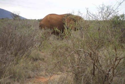 ein bisschen versteckt - Tsavo Ost Nationalpark