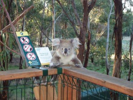 Koalabär - Koala Conservation Centre