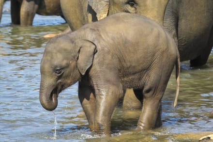 Badespaß im Fluss Maha Oya 2-4 - Elefantenwaisenhaus Pinnawela