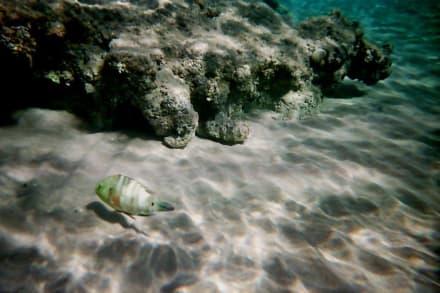 Schöne Fische am Hausriff - Schnorcheln Hurghada