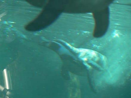 Pinguine unter Wasser - Zoo am Meer Bremerhaven