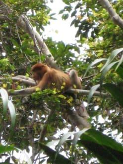 Nasenaffen - Bako Nationalpark