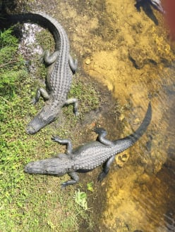 Aligators - Everglades National Park