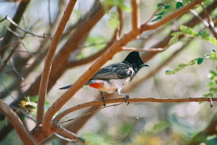 Rotsteißbulbul - Yala Nationalpark