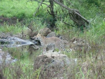 Leoparden hautnah - Hluhluwe Game Reserve