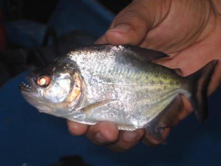 Piranha - Orinoco Delta
