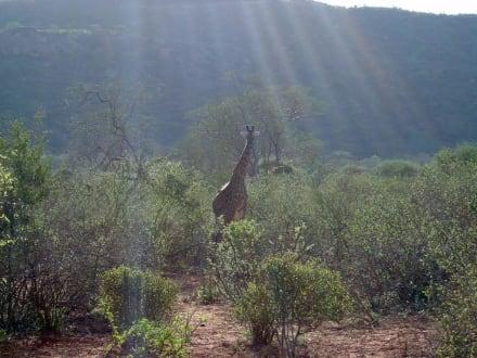Giraffen im Sonnenschein - Geführte Touren Diani Beach