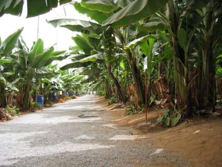Bananenplantage bei Agaete - Valle de Agaete
