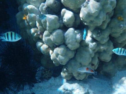 """Koralle mit """"kinderstuber"""" - Schnorcheln Hausriff Radisson Resort El Quseir"""