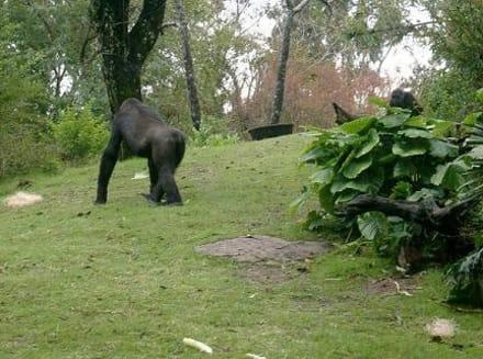 Gorilla gehäge - Animal Kingdom