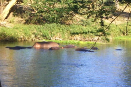 Hippos in den Mzima Springs - Tsavo West Nationalpark