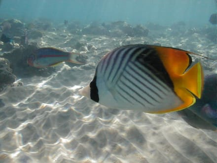 Rotes Meer, Fähnchenfalterfisch - Tauchen Makadi Bay