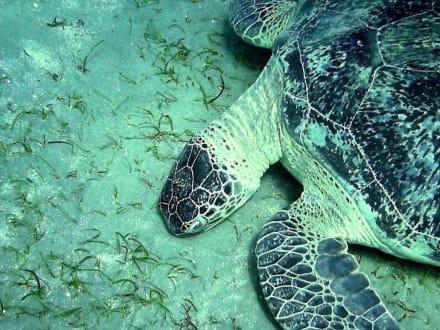 Schildkröte am Hausriff Hotel Radisson SAS El Quseir Resort - Schnorcheln El Quseir