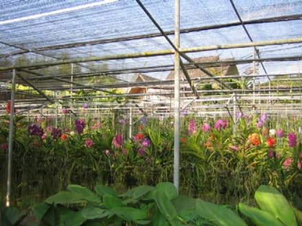 Hier kann man sehen wie die Orchideen hängen. - Orchideenfarmen