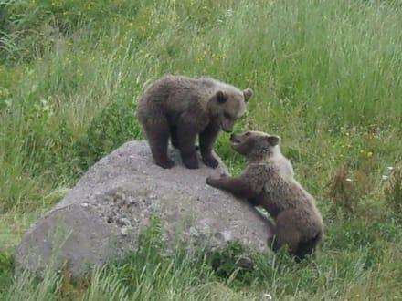 Bären spielen - Wildpark Poing