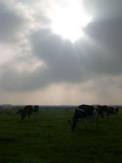 Kühe auf dem Deich bei Dangast - Deich Dangast