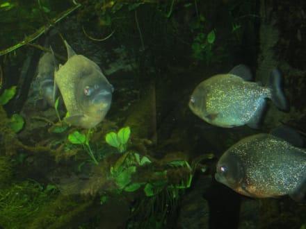 Piranhas - Exotarium - Zoo Frankfurt