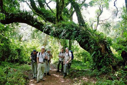 Im Urwald unter einem Baumriesen - Kilimanjarobesteigung