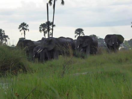 Elefantenherde am Fluß - Safari Okavango Delta