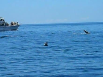 Delphine bei der Schiffahrt - Ausflüge Schifffahrt Bussard Tazacorte