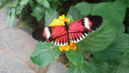 Viele tolle Schmetterlinge - Schmetterlingshaus Mariposario del Drago