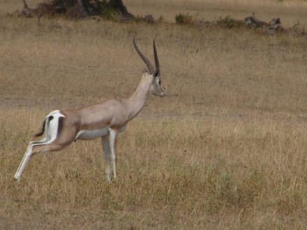 Grant-Gazelle - Tsavo West Nationalpark