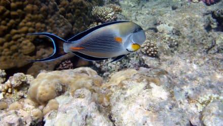 Sohal-Doktorfisch - Schnorcheln Makadi Bay
