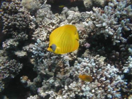 Rotes Meer, Maskenfalterfisch - Tauchen Makadi Bay