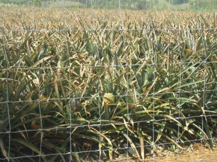 Ananasplantage bei Chamarel - Tour durch den Süden