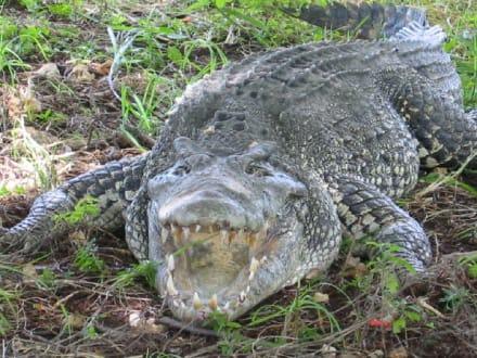 Krokodil - Krokodilfarm