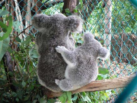 Nachwuchs bei Familie Koala - Lone Pine Koala Sanctuary