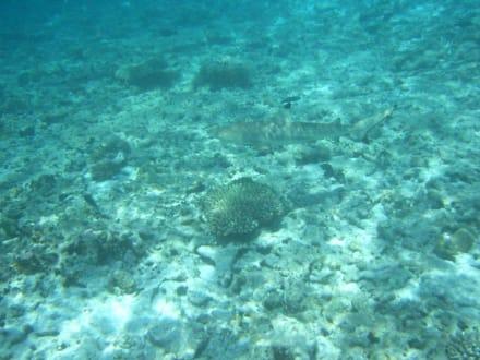 Schwarzspitzen-Riffhai - Unterwasser
