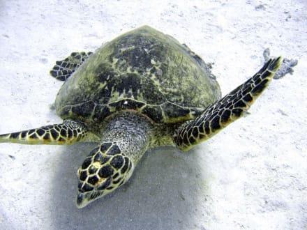 Schildkröte - Adventurer-Diving (geschlossen)
